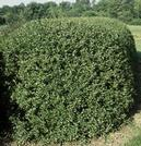 Cotoneaster Hedge