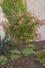 Hydrangea Pink Diamond Tree Form
