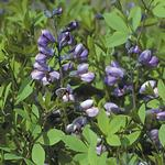 False Indigo Purple Smoke