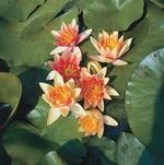 Orange Hardy Water Lily