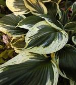 Hosta Independence