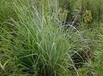 Pawnee Big Blue Stem Grass