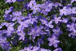 Phlox Sherwood Shares