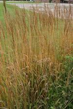 Indian Grass Nutans