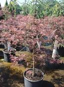 Red Dragon Lace Leaf Japanese Maple
