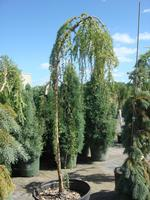 Larch Weeping European
