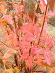 Maple Autumn Flame