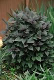 Joe Pye Weed Chocolate
