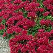 Sedum Dragons Blood