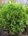 Arborvitae Little Giant Globe