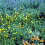 Native Short and Dry Wildflower Seed Mix