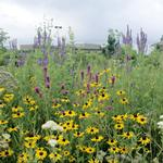 Native Mixed Height Mesic Wildflower Mixes