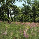 Native Savanna Wildflower Mix Seed