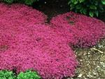 Thyme Red Creeping