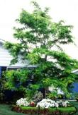 Honeylocust Shademaster
