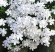 Phlox White Creeping