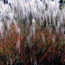 Miscanthus - Flame Maiden Grass