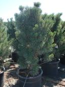 Pinus - Big Tuna Mugo Pine Upright