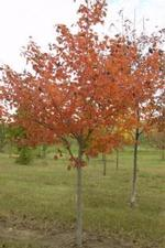 Acer - Northwood Maple