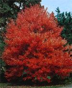 Acer - Red Sunset Maple