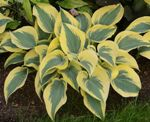 Hosta - Autumn Frost