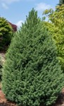 Picea - Big Bertha Spruce