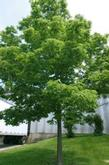 Celtis - Common Hackberry