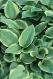 Hosta - Golden Tiara