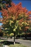 Acer - Green Mountain Maple