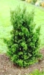 Taxus - Hicksii Yew Upright