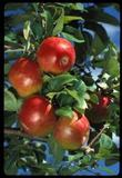 Malus - Honeycrisp Apple Tree