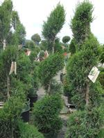 Juniperus - Mint Julip Spiral Juniper
