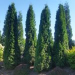 Thuja - North Pole Arborvitae Upright