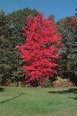 Acer - Red Maple