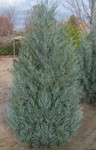 Juniperus - Skyhigh Juniper Upright