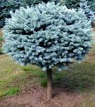 Picea - Globe Blue on a Standard Spruce