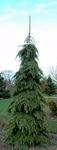 Picea - Weeping White Spruce
