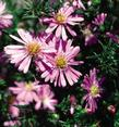 Aster Woods Pink